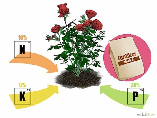 bón phân cho hoa hồng leo pháp
