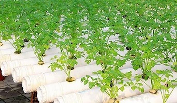 cần tây trồng thủy canh