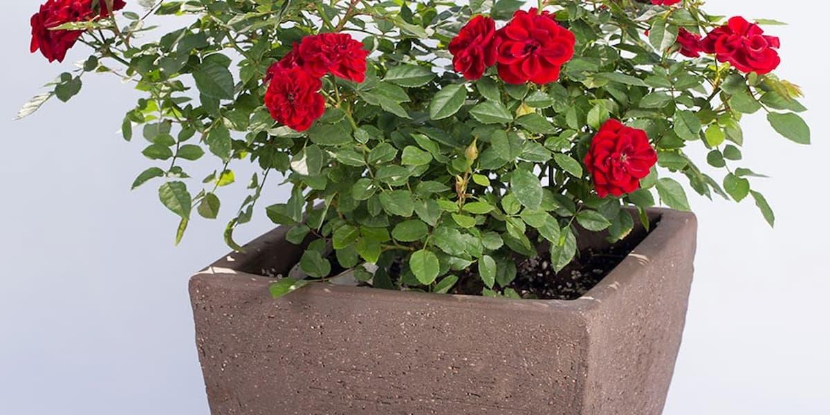 cách cắm hoa hồng tỉ muội