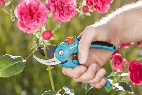 cách cắt cành hoa hồng