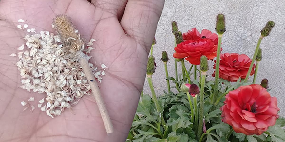 cách trồng hoa hồng bằng hạt