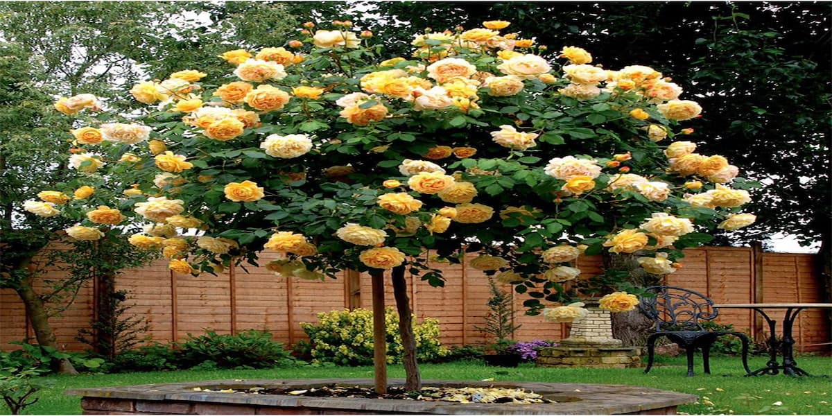 cách trồng hoa hồng thân gỗ cực kỳ dễ dàng