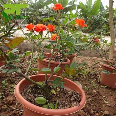 cách trồng hoa hồng tỉ muội