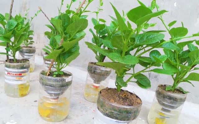 chăm sóc rau trồng thủy canh trong chai nhựa