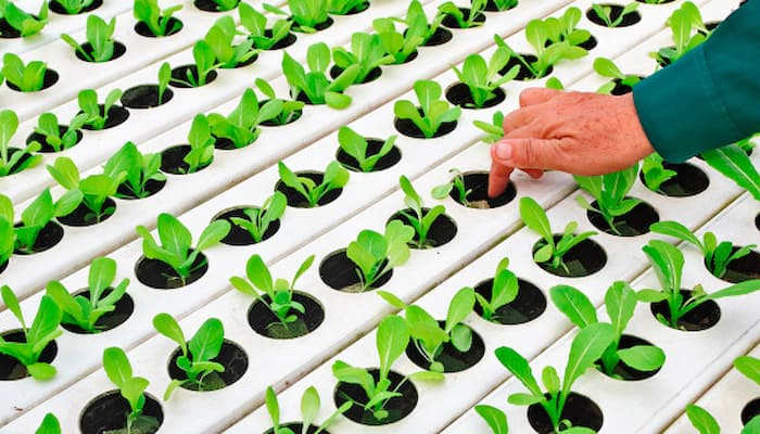 chăm sóc rau trồng thủy canh