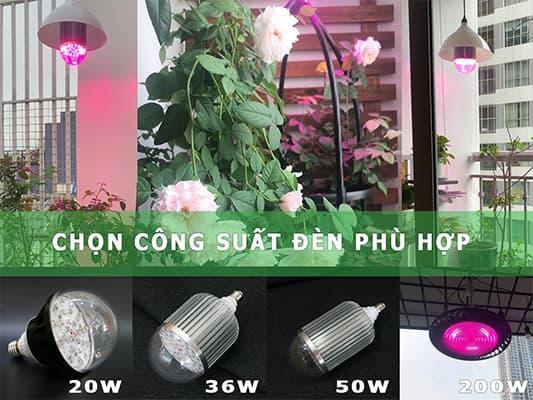 chọn công suất đèn phù hợp cây hoa hồng