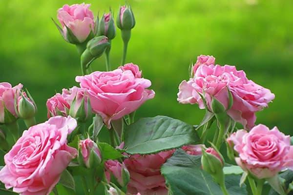 chuẩn bị vốn trồng hoa hồng