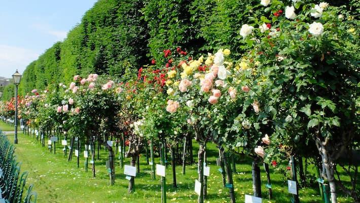 Đặc điểm cây hoa hồng thân gỗ