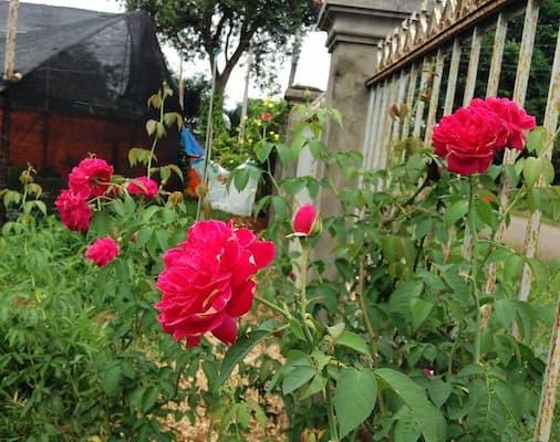 Đặc điểm hình thái hoa hồng tường vi