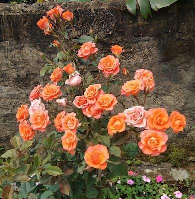 Đặc điểm hình thái hoa hồng tỉ muội