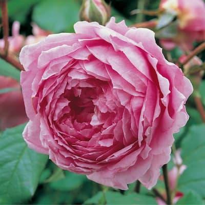 Đặc điểm hoa hồng huntington