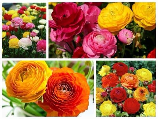 Đặc điểm hoa hồng ri ba tư