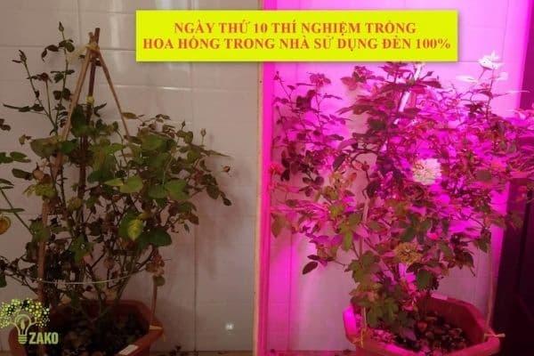 Đèn led trồng cây hoa hồng zako