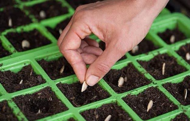 giai đoạn gieo trồng theo công nghệ trồng rau sạch isreal