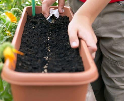 gieo hạt giống trồng hoa hồng