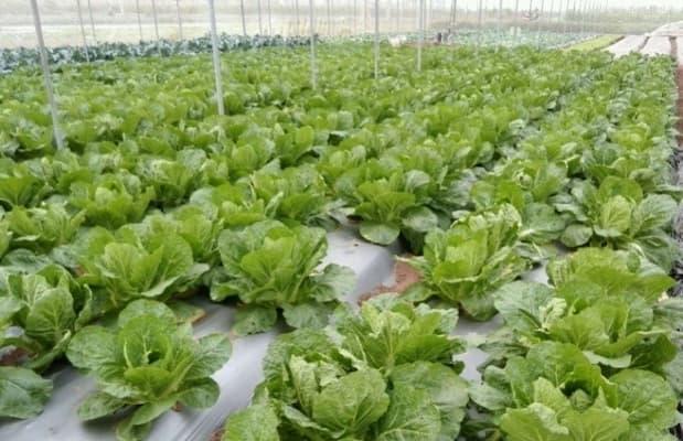 hạn chế của công nghệ trồng rau sạch nhật bản