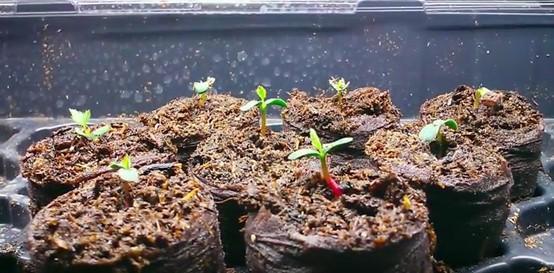 hạt giống hoa hồng leo pháp nảy mầm