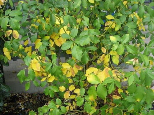 hoa hồng bị vàng lá do ngộ độc phân bón