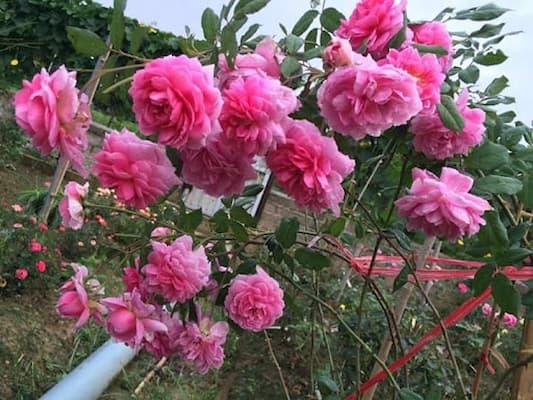 hoa hồng huntington leo trên hàng rào