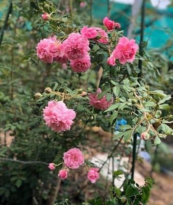 hoa hồng huntington có khả năng phân nhánh mạnh mẽ