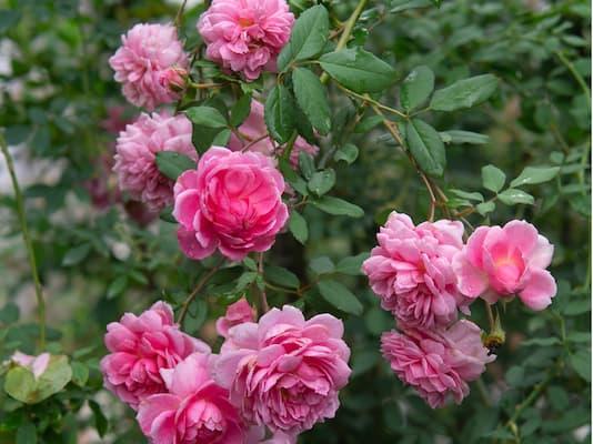 hoa hồng huntington là loại hoa ưa nắng
