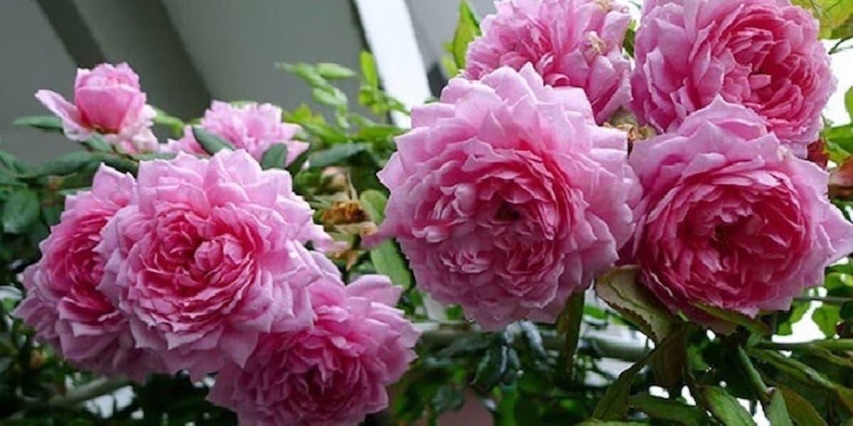 hoa hồng huntington