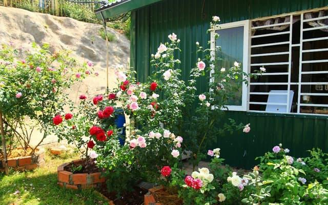 hoa hồng là giống cây ưa sáng