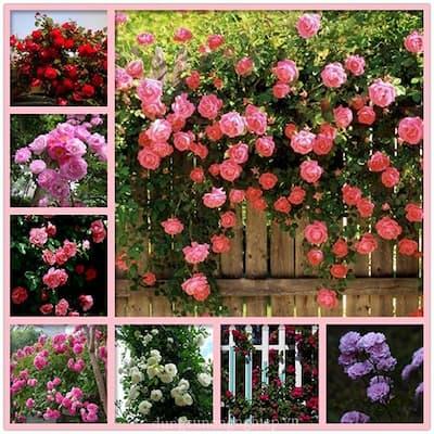hoa hồng leo pháp có đa dạng màu sắc