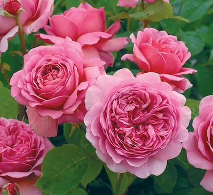 hoa hồng leo pháp ra hoa quanh năm