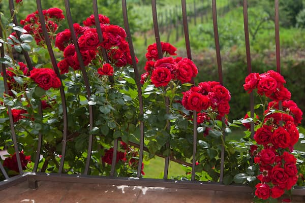 hoa hồng leo sapa rất dễ bị ngập úng