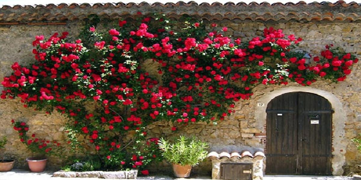 hoa hồng leo sapa