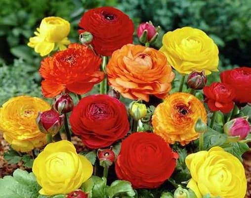 hoa hồng ri ba tư