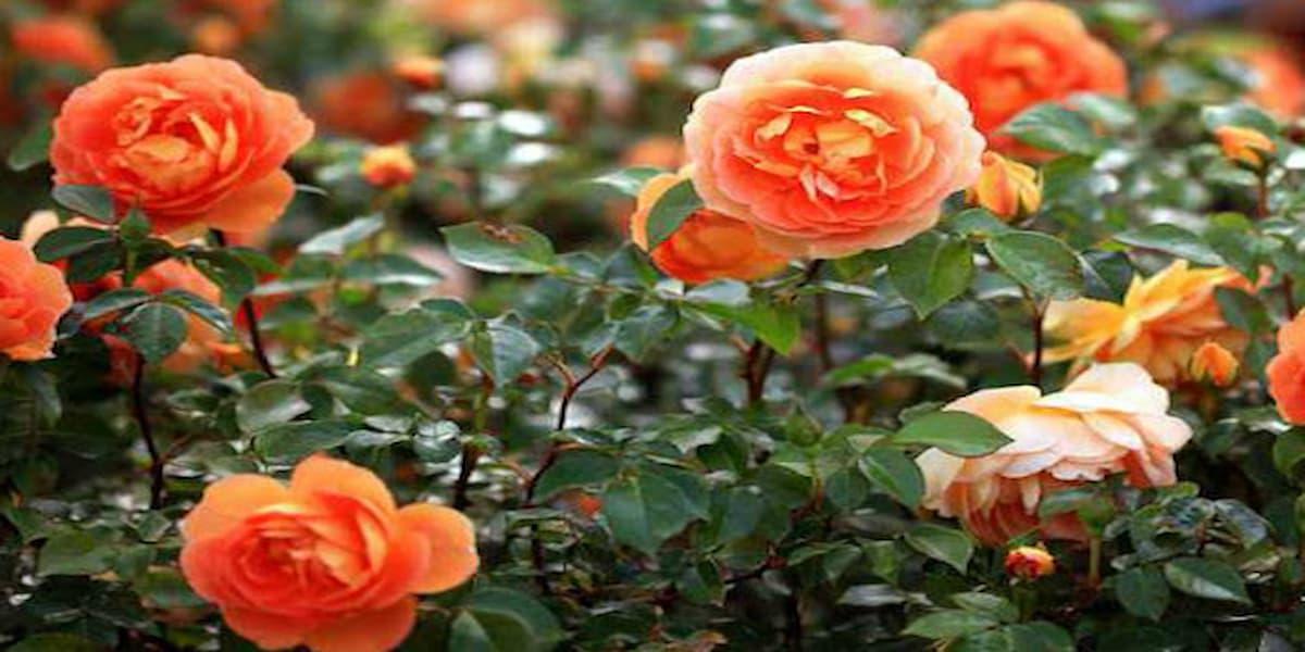 hoa hồng tỉ muội mang nhiều ý nghĩa