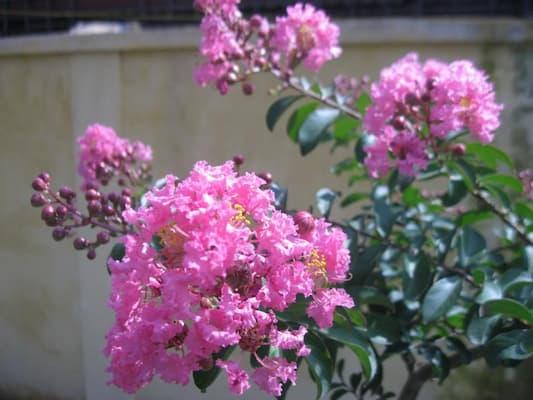 hoa tường vi khác hoa hồng tường vi