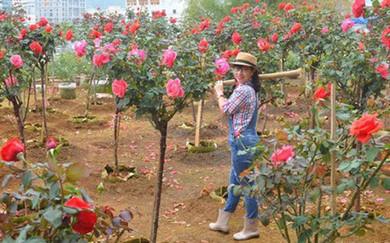 học nghề trồng hoa hồng