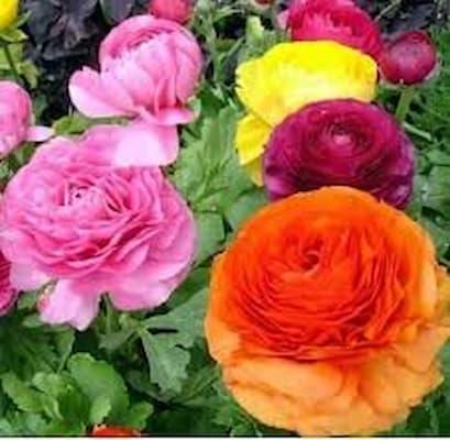 hồng ri ba tư là loại cây ưa ánh sáng
