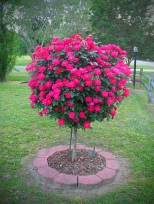 hồng thân gỗ tự nhiên