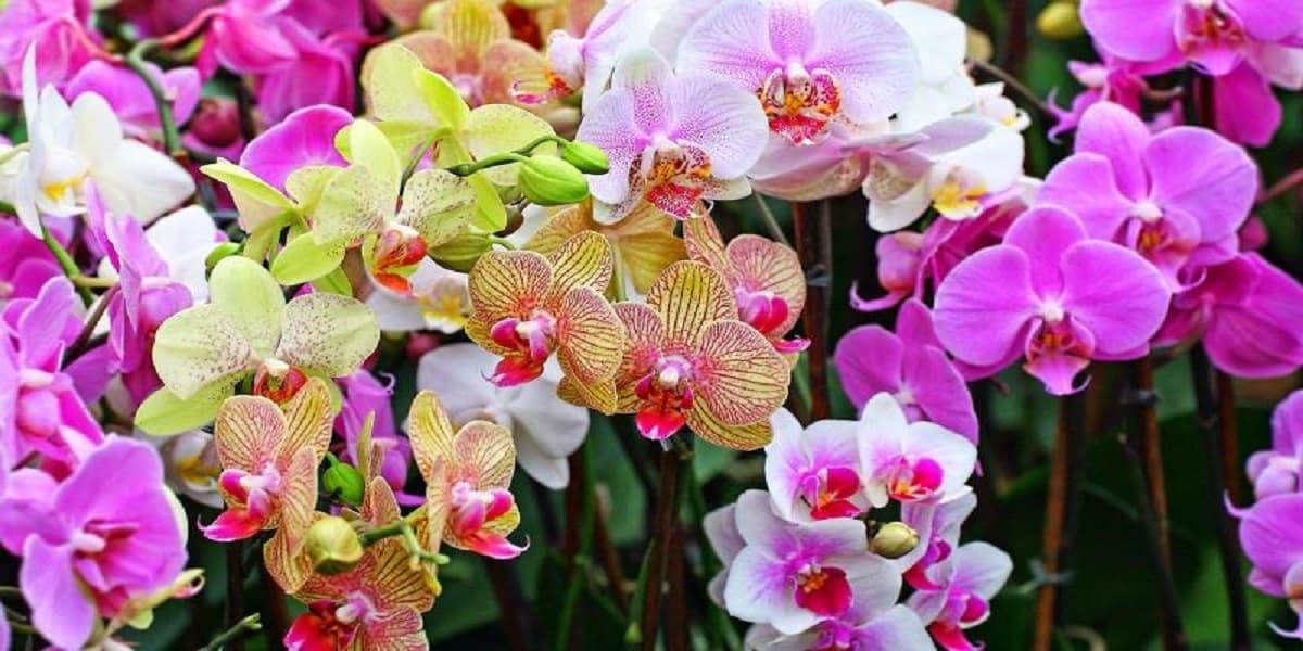 huong dan cach trong va cham soc hoa lan ho diep ra hoa deu dan ruc ro cuc dep