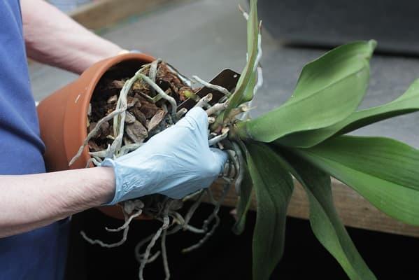 kéo nhẹ rễ và chất trồng ra khỏi chậu