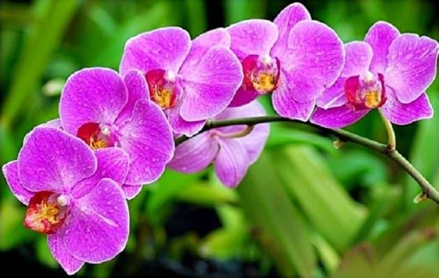 khoảng thời gian thích hợp để kích thích lan hồ điệp ra hoa