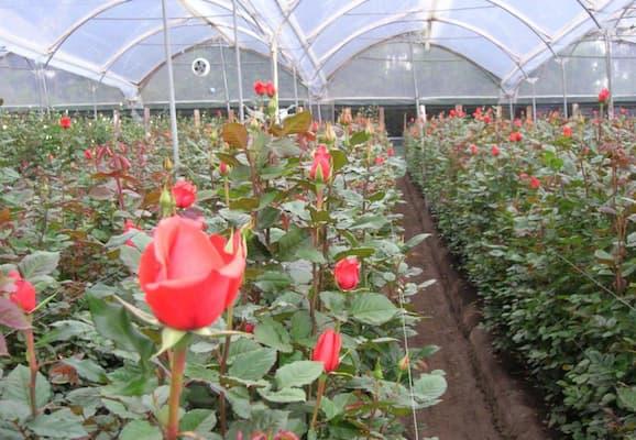 mô hình trồng hoa hồng trong nhà kính