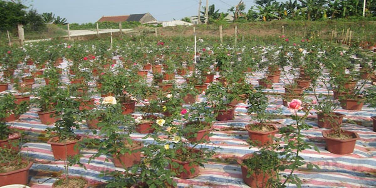 mô hình trồng hoa hồng