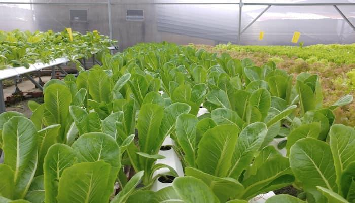 mô hình trồng rau thủy canh quy mô công nghiệp