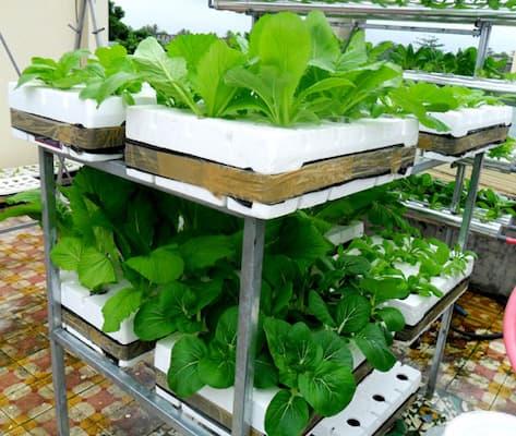 mô hình trồng rau thủy canh tĩnh