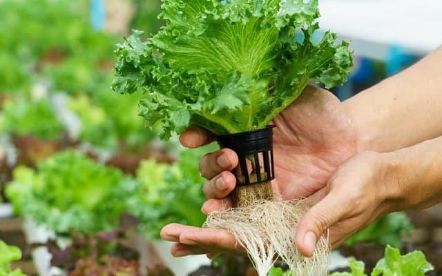 một số lưu ý khi làm giá thể trồng rau thủy canh