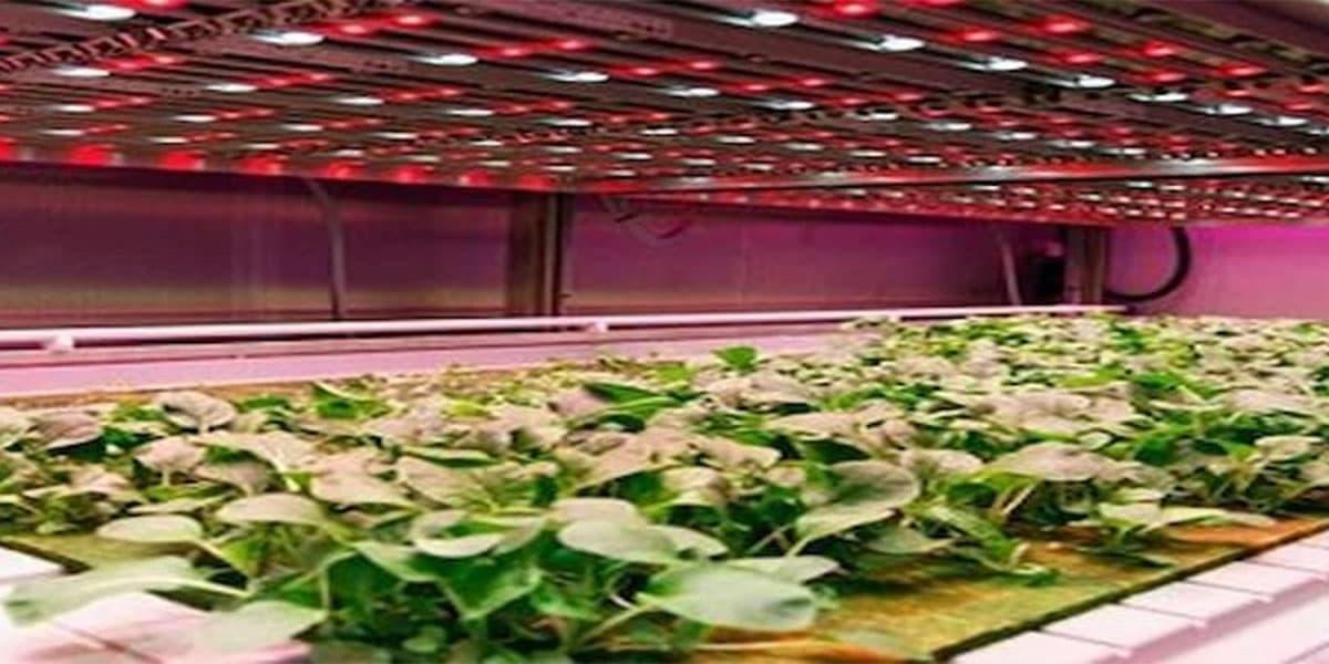 phương pháp trồng rau sạch bằng đèn led