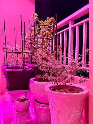 quá trình sử dụng đèn led trồng hoa hồng của zako