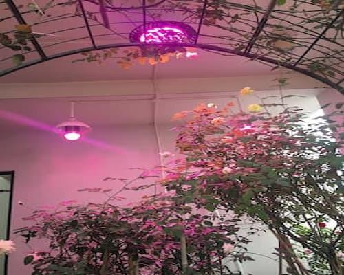 sử dụng đèn led trồng hoa hồng zako
