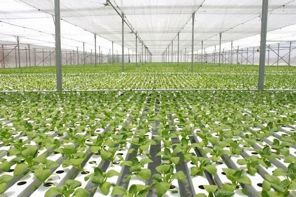 sự khác biệt của công nghệ trồng rau sạch isreal