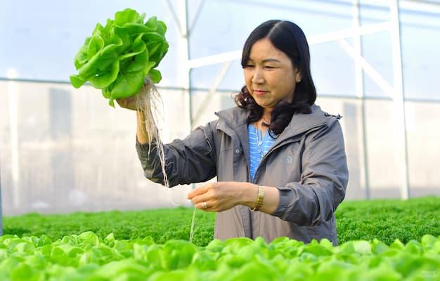 thu hoạch rau trồng thủy canh công nghiệp
